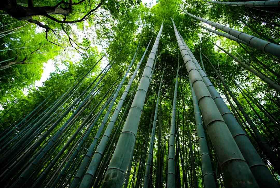 Comment entretenir un bambou d'intérieur